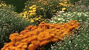 The River of Mums